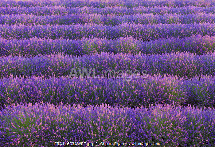 France, Provence Alps Cote d'Azur, Haute Provence, Valensole Plateau, Lavender Field, close-up