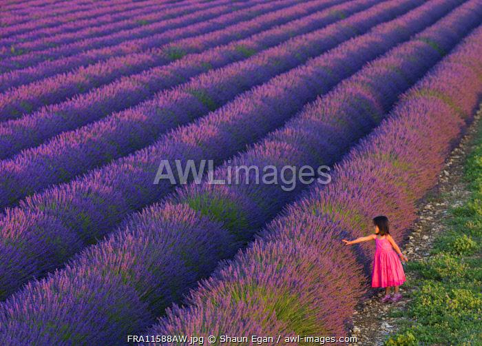 France, Provence Alps Cote d'Azur, Haute Provence, Valensole Plateau, girl by lavender Field (MR)