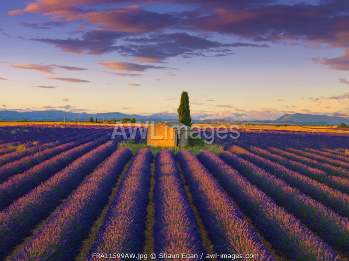 France, Provence Alps Cote d'Azur, Haute Provence, Valensole Plateau, Lavender Field and stone barn at dusk