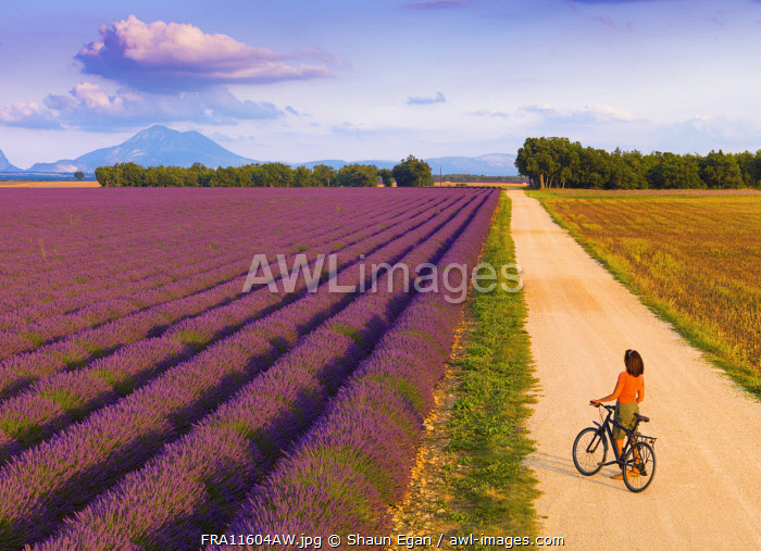 France, Provence Alps Cote d'Azur, Haute Provence, Valensole Plateau, woman with bicycle beside lavender Fields (MR)