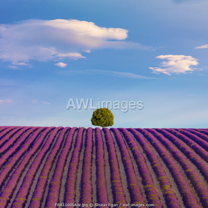 France, Provence Alps Cote d'Azur, Haute Provence, Valensole Plateau, single tree and Lavender Field
