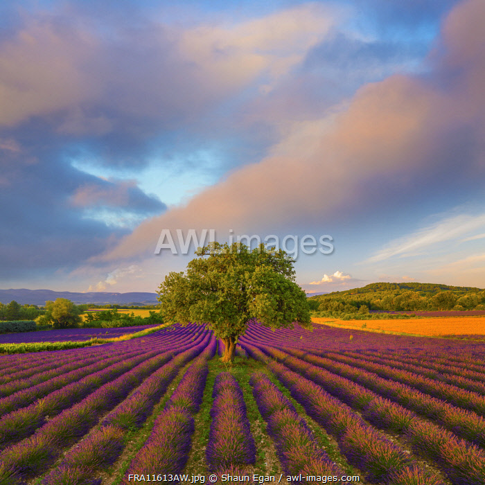 France, Haute Provence, Provence, Sault Plateau, Rows of lavender and single tree