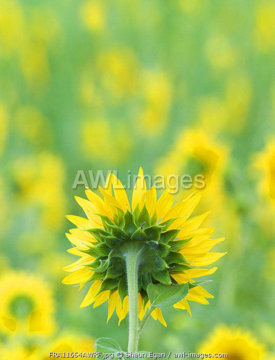 France, Provence, Alps Cote d'Azur, Haute Provence, rear view of sunflower