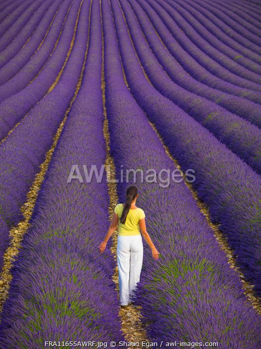 France, Provence Alps Cote d'Azur, Haute Provence, Valensole Plateau, woman walking through lavender Field (MR)