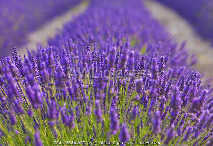 France, Provence, Vaucluse, Gordes, Senanque abbey, close up of lavender
