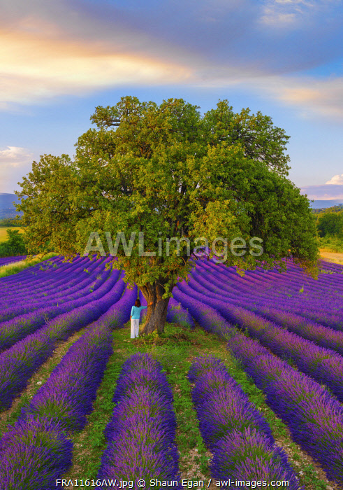 France, Haute Provence, Provence, Sault Plateau, Rows of lavender with woman leaning against single tree (MR)