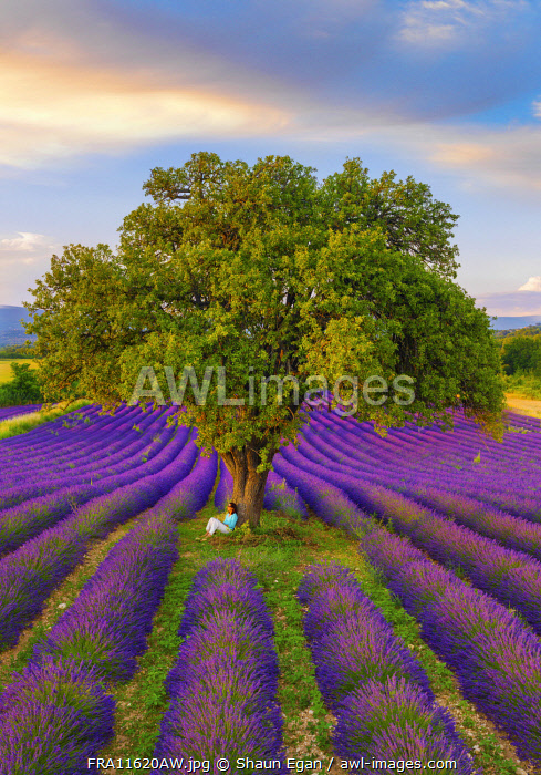 France, Haute Provence, Provence, Sault Plateau, Rows of lavender with woman sitting against single tree (MR)