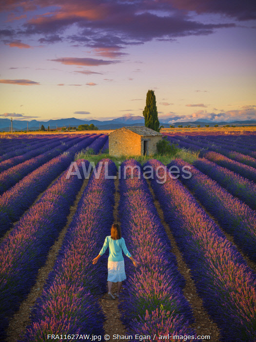 France, Provence Alps Cote d'Azur, Haute Provence, Valensole Plateau, woman walking through Lavender Field with stone barn (MR)