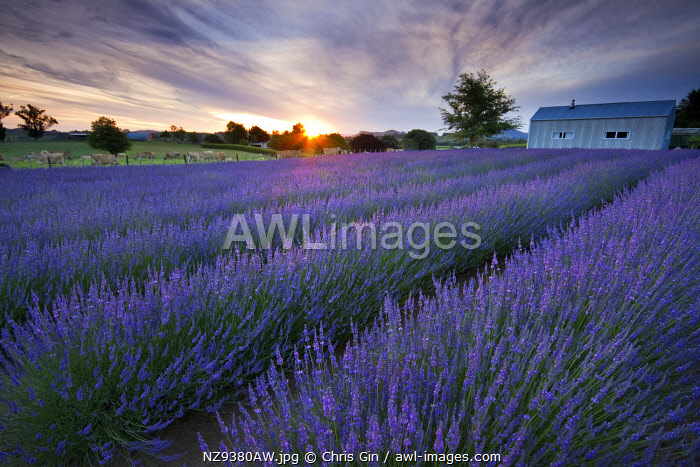 Sunrise at a lavender farm in Te Awamutu, Waikato, New Zealand