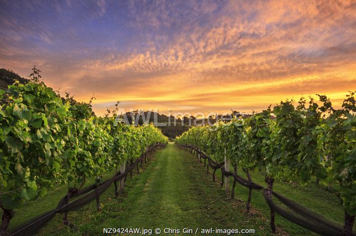 Vineyard sunset, Coromandel Peninsula, New Zealand