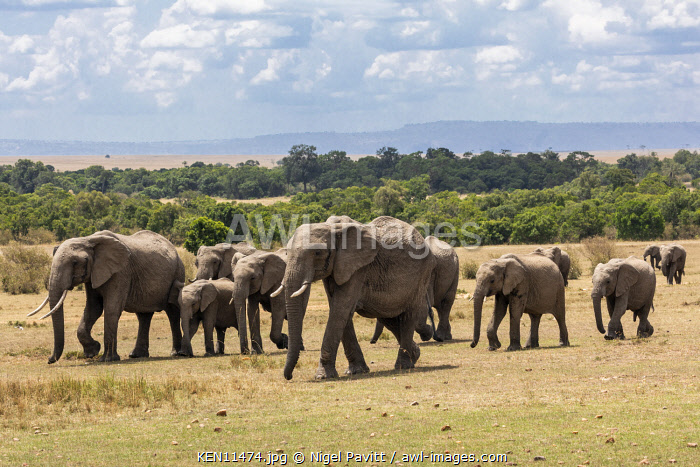 Kenya, Masai Mara, Narok County. Led by a matriarch, a herd of African elephants crosses open plains in Masai Mara National Reserve.