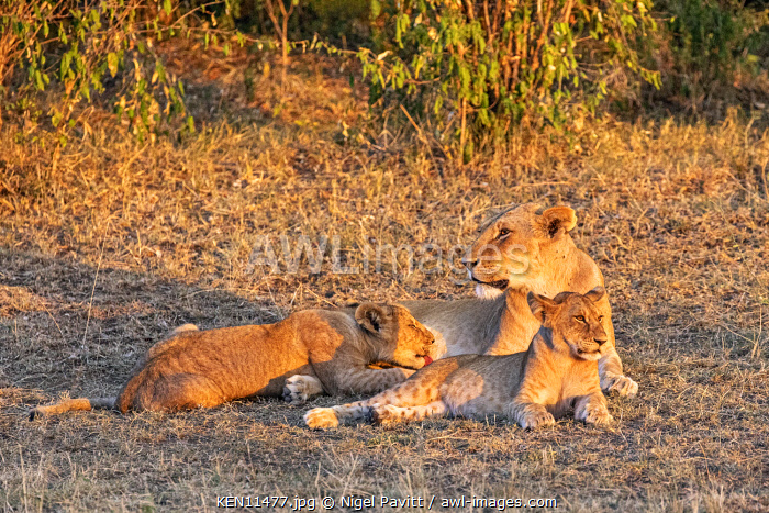 Kenya, Masai Mara, Narok County. A lioness and her cubs in late afternoon sunlight.