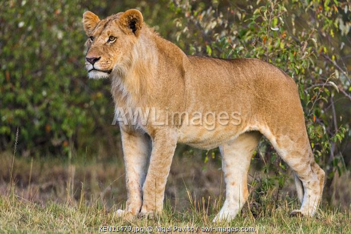 Kenya, Masai Mara, Narok County. A fine young male lion.