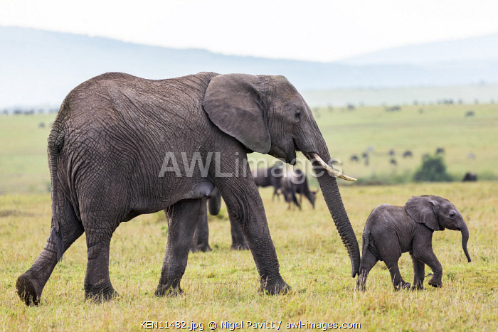 Kenya, Masai Mara, Narok County. A female African elephant guides her young offspring with her trunk across open plains in Masai Mara National Reserve.