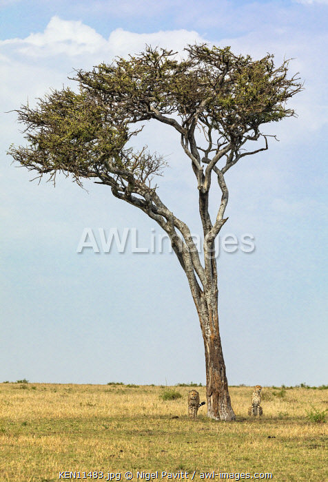 Kenya, Masai Mara, Narok County.  Two Cheetahs pause in the shade of a lone tree.