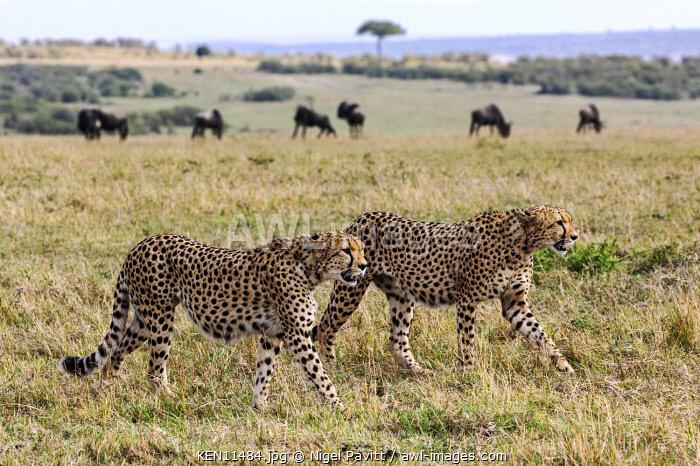 Kenya, Masai Mara, Narok County.  Two Cheetahs cross open plains with wildebeest in the background.