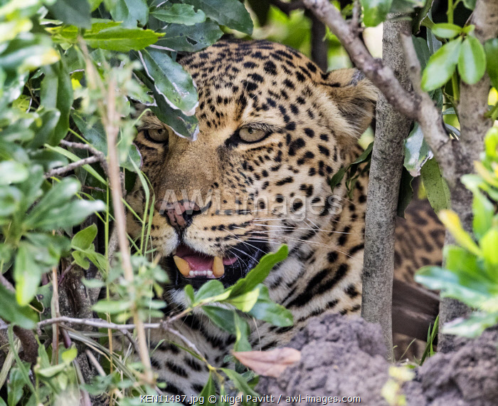 Kenya, Masai Mara, Narok County.  A female leopard concealed in a thicket on the lookout for its prey.