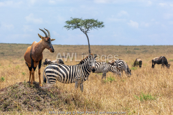 Kenya, Masai Mara, Narok County.  A Topi stands on a termite mound in open grasslands with common zebras and wildebeest grazing nearby.