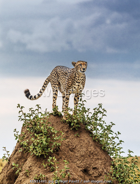Kenya, Masai Mara, Narok County.  A Cheetah stands on top of a large termite mound in Masai Mara National Reserve.
