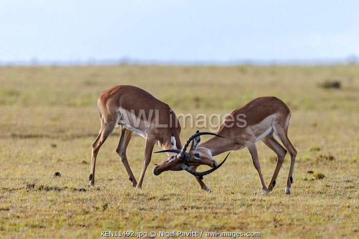Kenya, Masai Mara, Narok County.  Two young male Impala antelopes lock horns in a playful battle of strength.