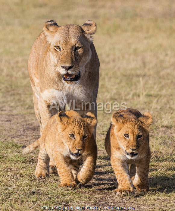Kenya, Masai Mara, Narok County. A lioness follows her two cubs as they move away from open grasslands.