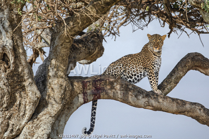 Kenya, Masai Mara, Narok County.  A leopard watches for its prey while sitting on a branch of a lone tree.  The dried blood on the branch shows that itis a favourite tree of this leopard.