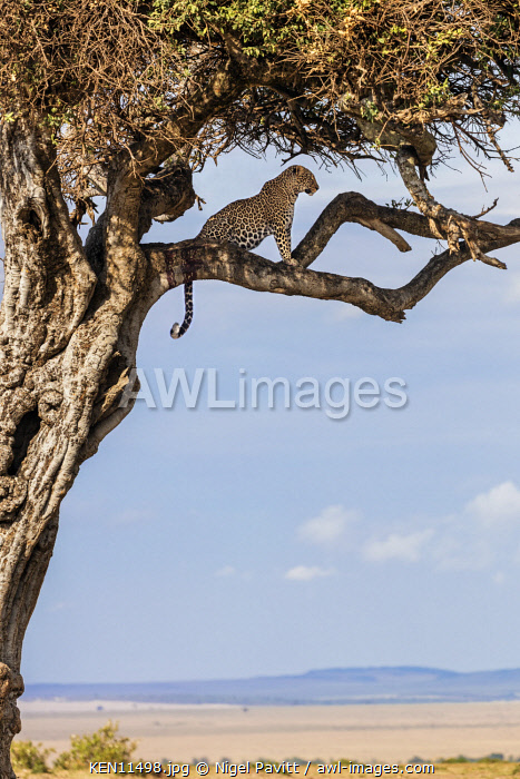 Kenya, Masai Mara, Narok County.  A leopard watches for its prey grazing on the plains while seated on a branch of a lone tree.  The dried blood on the branch shows that it is a favourite tree of this leopard.