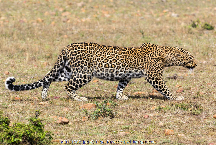 Kenya, Masai Mara, Narok County.  A leopard crouches low as it stalks its  prey.