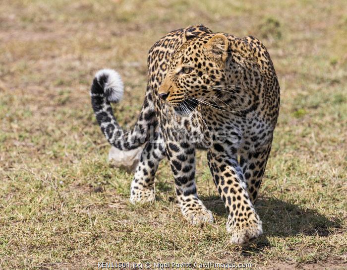 Kenya, Masai Mara, Narok County.  A fine leopard on the move.