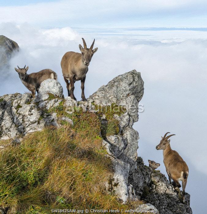 Switzerland, Lucerne, Mount Pilatus, Ibex