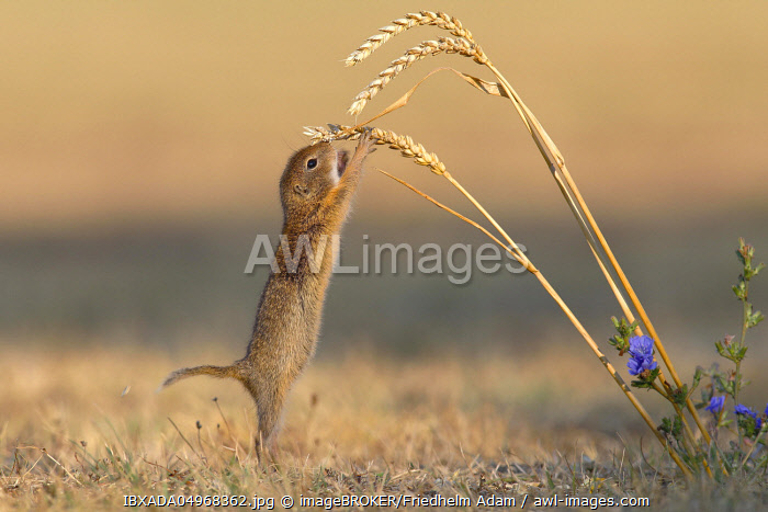 Suslik (Spermophilus citellus), young animal on ear, Wheat (Triticum aestivum), National Park Lake Neusiedl, Seewinkel, Burgenland, Austria, Europe
