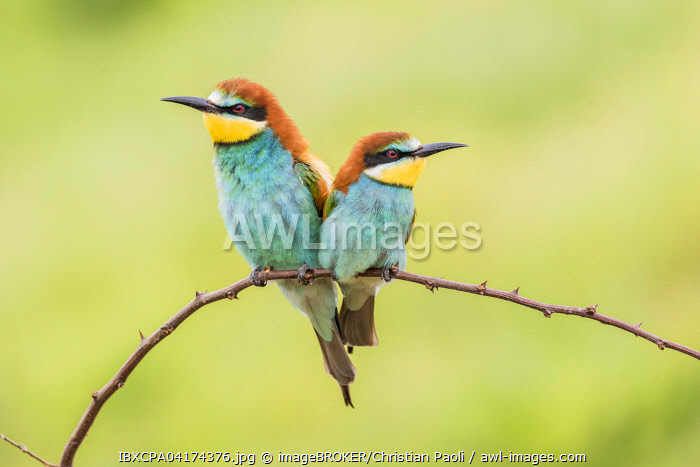 European bee-eater (Merops apiaster), two birds sitting on branch, Ruse Province, Bulgaria, Europe