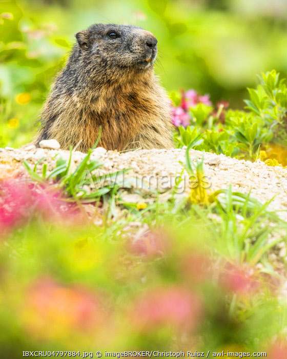 Marmot (Marmota) sits at its den, Berchtesgaden Alps, Bavaria, Germany, Europe
