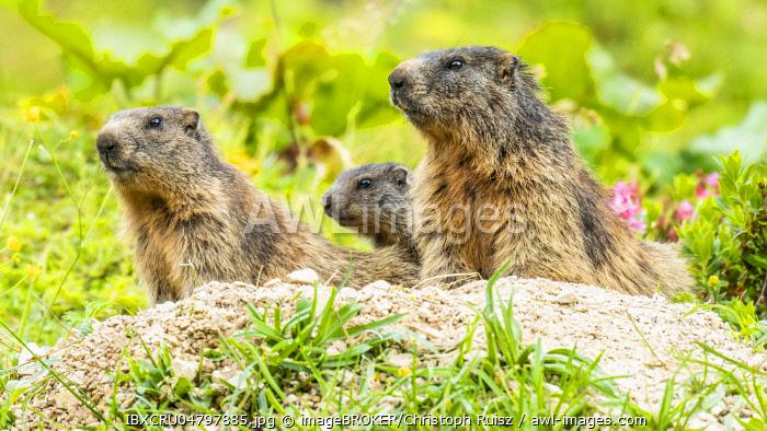 Marmots (Marmota) sit at their den, Berchtesgaden Alps, Bavaria, Germany, Europe