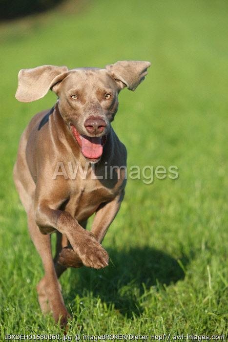 Weimaraner, short hair, hound