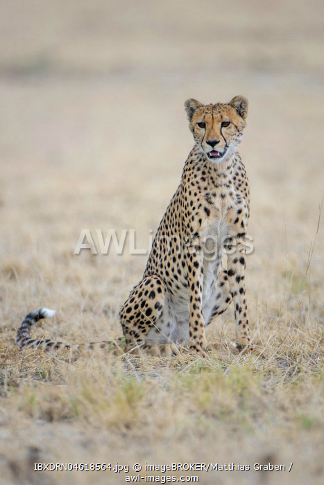 Cheetah (Acinonyx jubatus), sitting, Nxai Pan National Park, Ngamiland District, Botswana, Africa