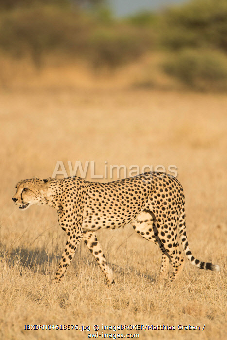 Cheetah (Acinonyx jubatus), running, Nxai Pan National Park, Ngamiland District, Botswana, Africa