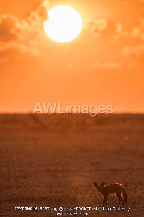 Bat-eared fox (Otocyon megalotis), at sunset, dry grassland, Nxai Pan National Park, Ngamiland District, Botswana, Africa