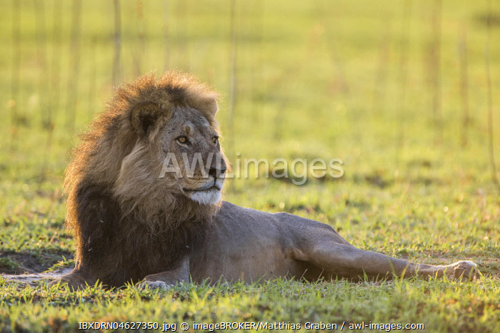 Lion (Panthera leo) looks attentively, male, Savuti, Chobe National Park, Chobe District, Botswana, Africa