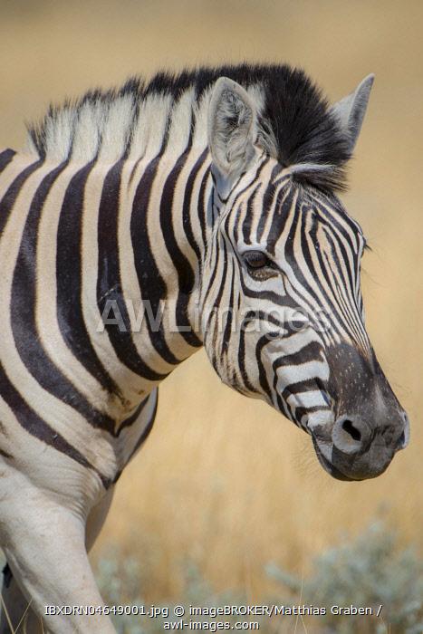 Burchell's Zebras (Equus burchelli), animal portrait, Etosha National Park, Namibia, Africa
