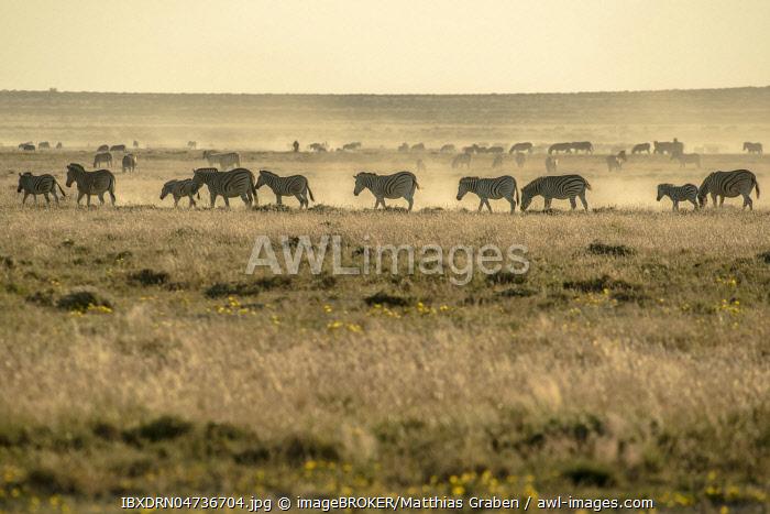 Burchell's Zebras (Equus quagga burchelli), herd in dusty air in dry prairie, evening light, Etosha National Park, Namibia, Africa