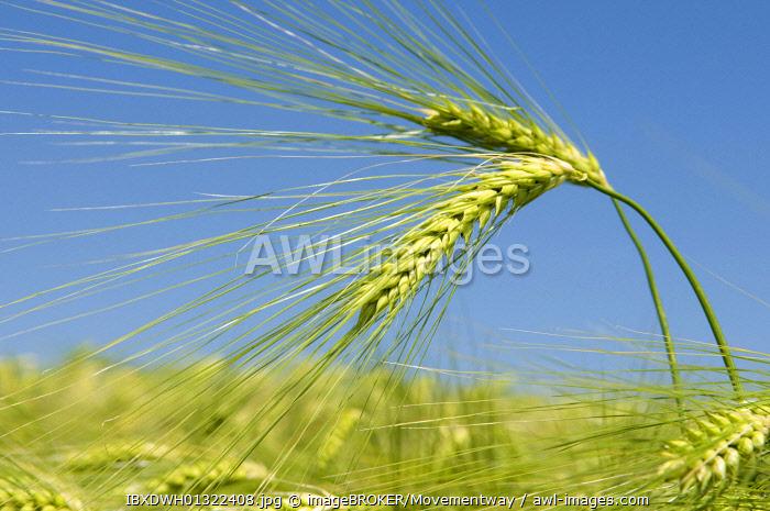 Barley field, Kamen, Ruhr area, North Rhine-Westphalia, Germany, Europe
