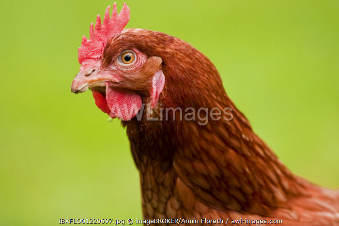 Portrait of a laying hen