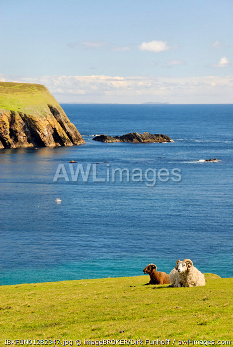 Male sheep on the cliffs of Fair Isle, Shetland, United Kingdom, Europe