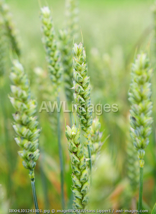 Unripe green wheat ears