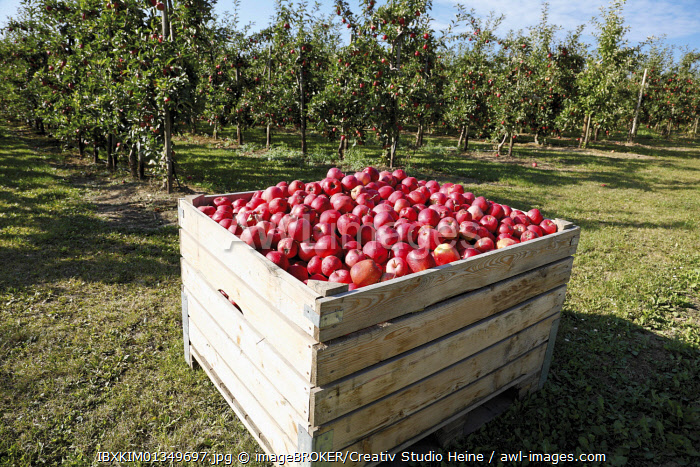 Apple orchard, box with freshly picked red apples