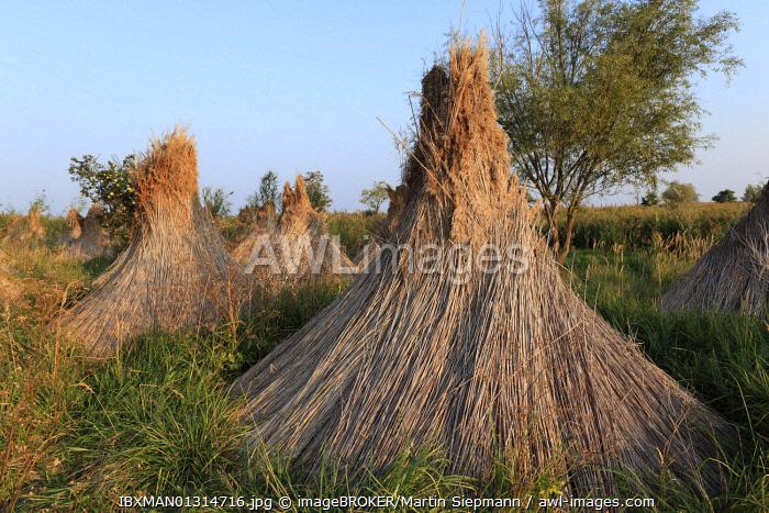 Reed bundle at Lake Neusiedl, Burgenland, Austria, Europe