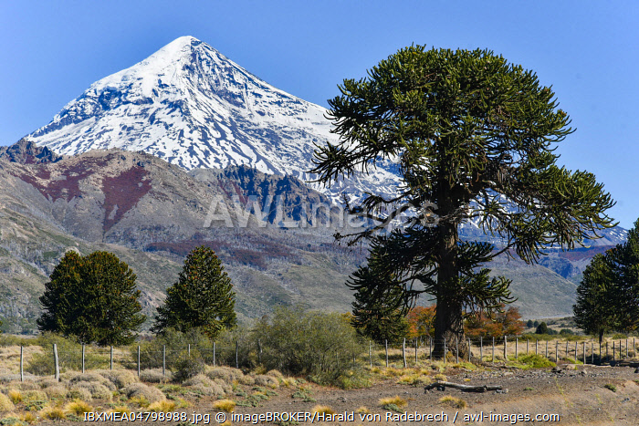 Snow-covered volcano Lanin and monkey puzzle tree (Araucaria araucana), between San Martin de los Andes and Pucon, National Park Lanin, Patagonia, border between Argentina and Chile