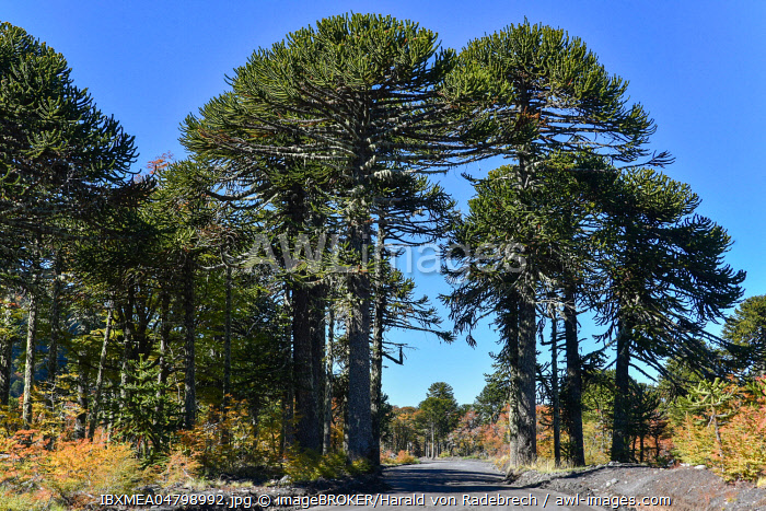 Unpaved road passes through monkey puzzle trees (Araucaria araucana), between San Martin de los Andes and Pucon, Lanin National Park, Patagonia, border between Argentina and Chile.