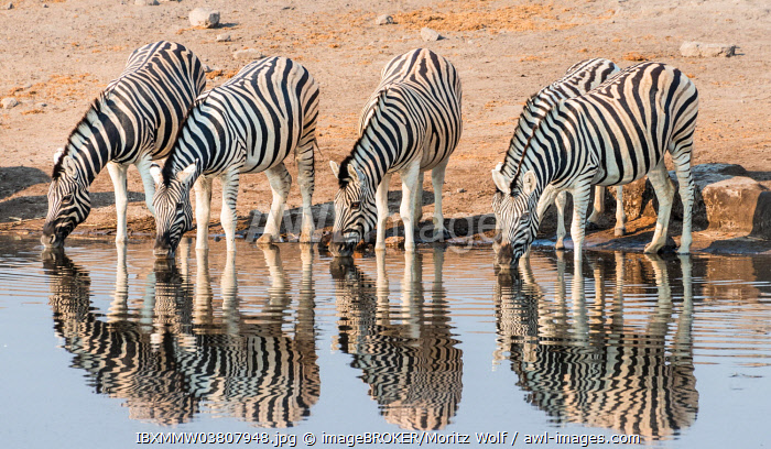 Herd of Burchell's Zebras (Equus quagga burchellii) drinking at water, Chudop water hole, Etosha National Park, Namibia, Africa